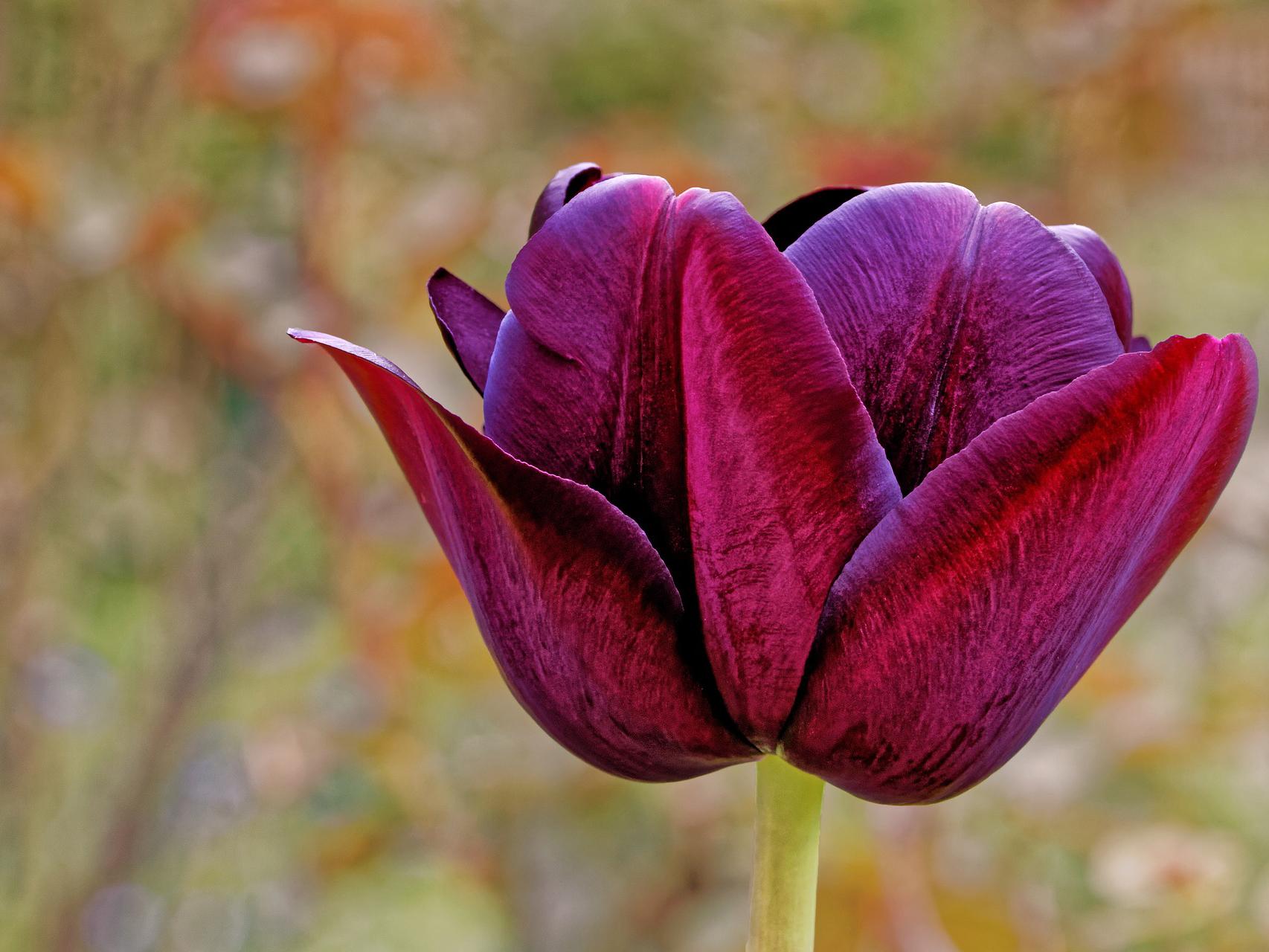 tulip-2309664_1920111